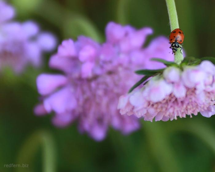 Spring Ladybug 2013