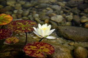 water-lily-392570_640